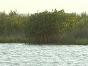 red mangrove.JPG